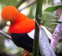 ecuador birding bird watching tours miple reserve