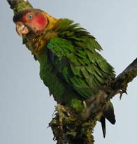 Rose  Faced Parrot . Ecuador Birdwatching San Jorge de  Milpe