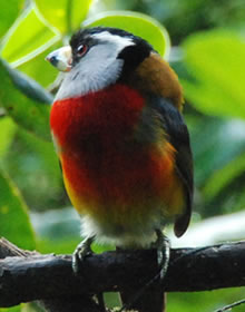 toucan barbet at San Jorge de Tandayapa ecuador Hummingbird Sanctuary bird watching