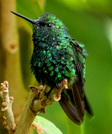 Green crowned woodnymph at San Jorge de Tandayapa ecuador Hummingbird Sanctuary bird watching